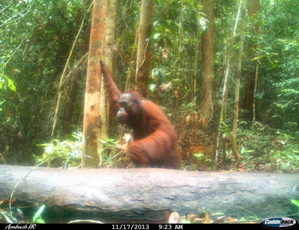 Young male orangutan