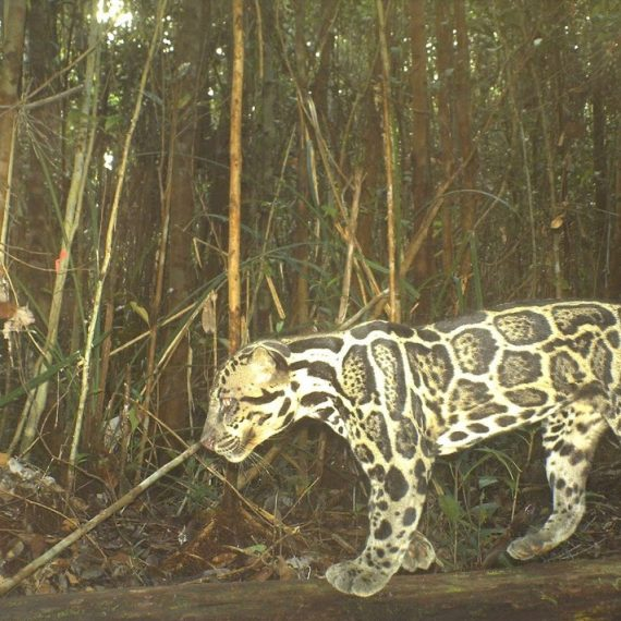 Camera trap - Clouded leopard