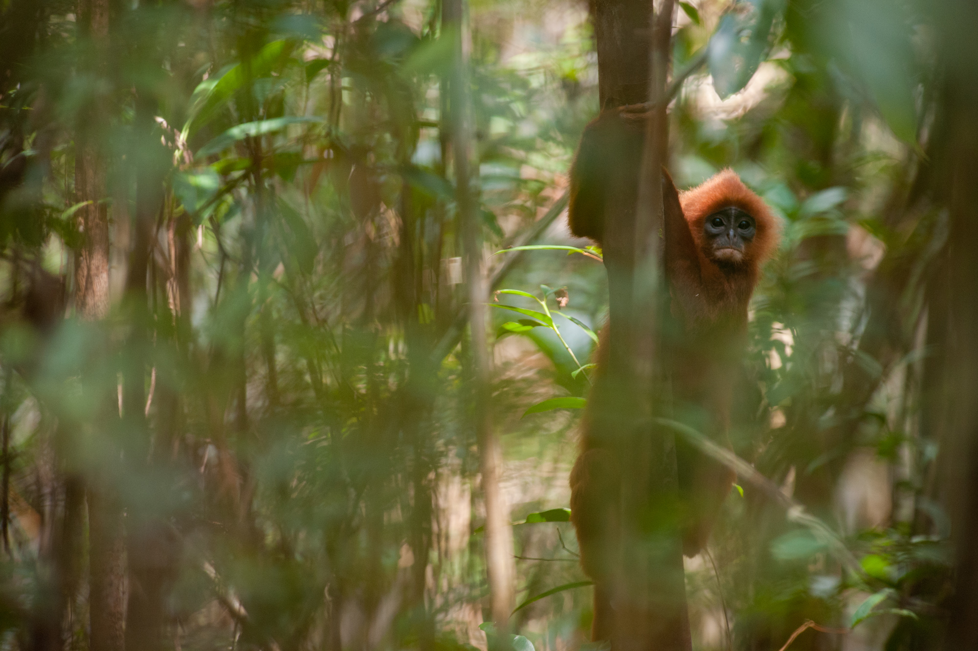 Red langur monkey