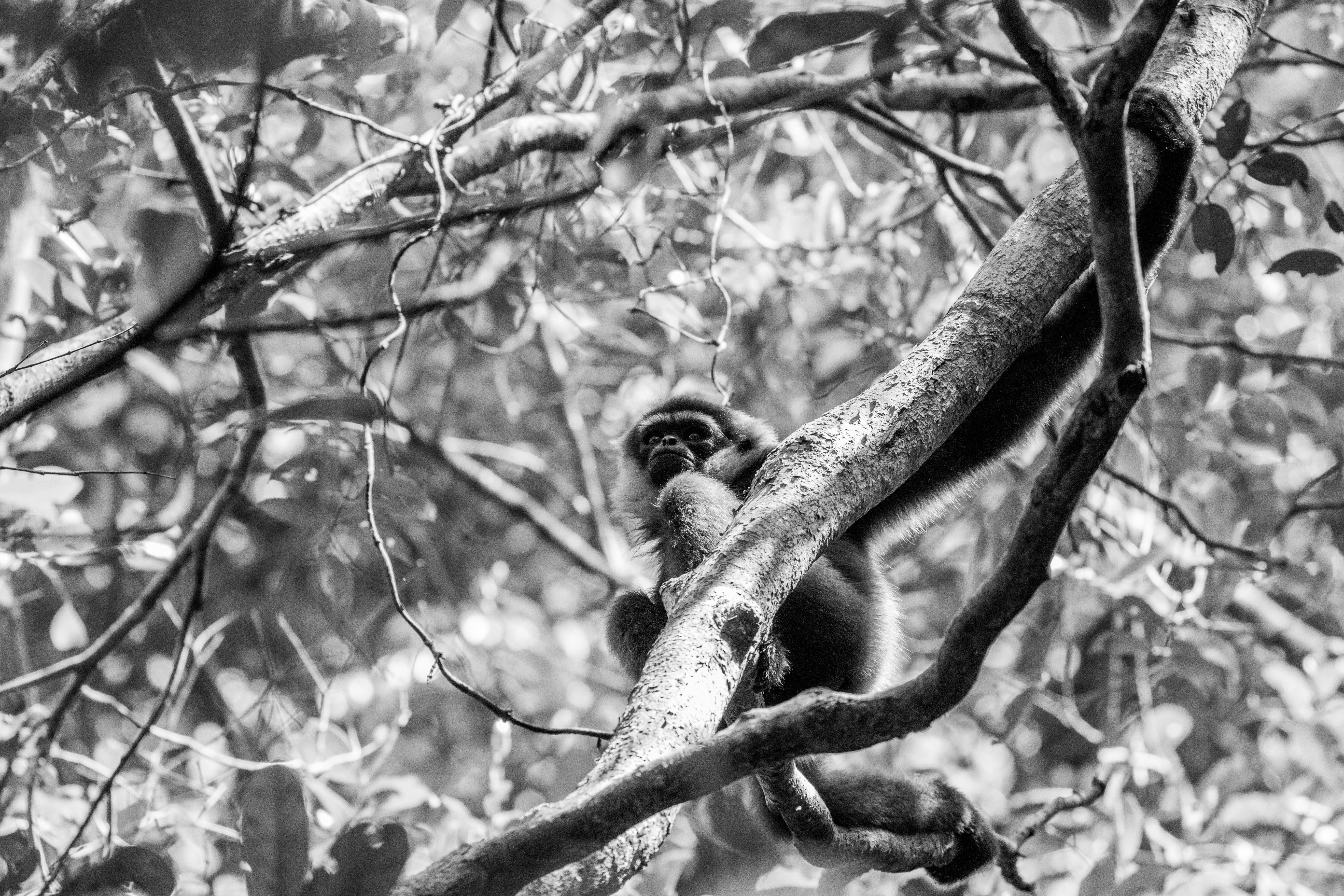 Southern Bornean gibbon