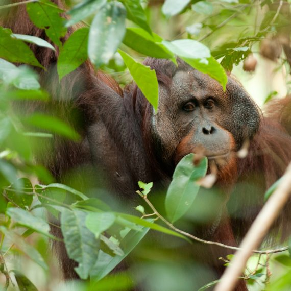 Orangutan-Sabangau-medium-004
