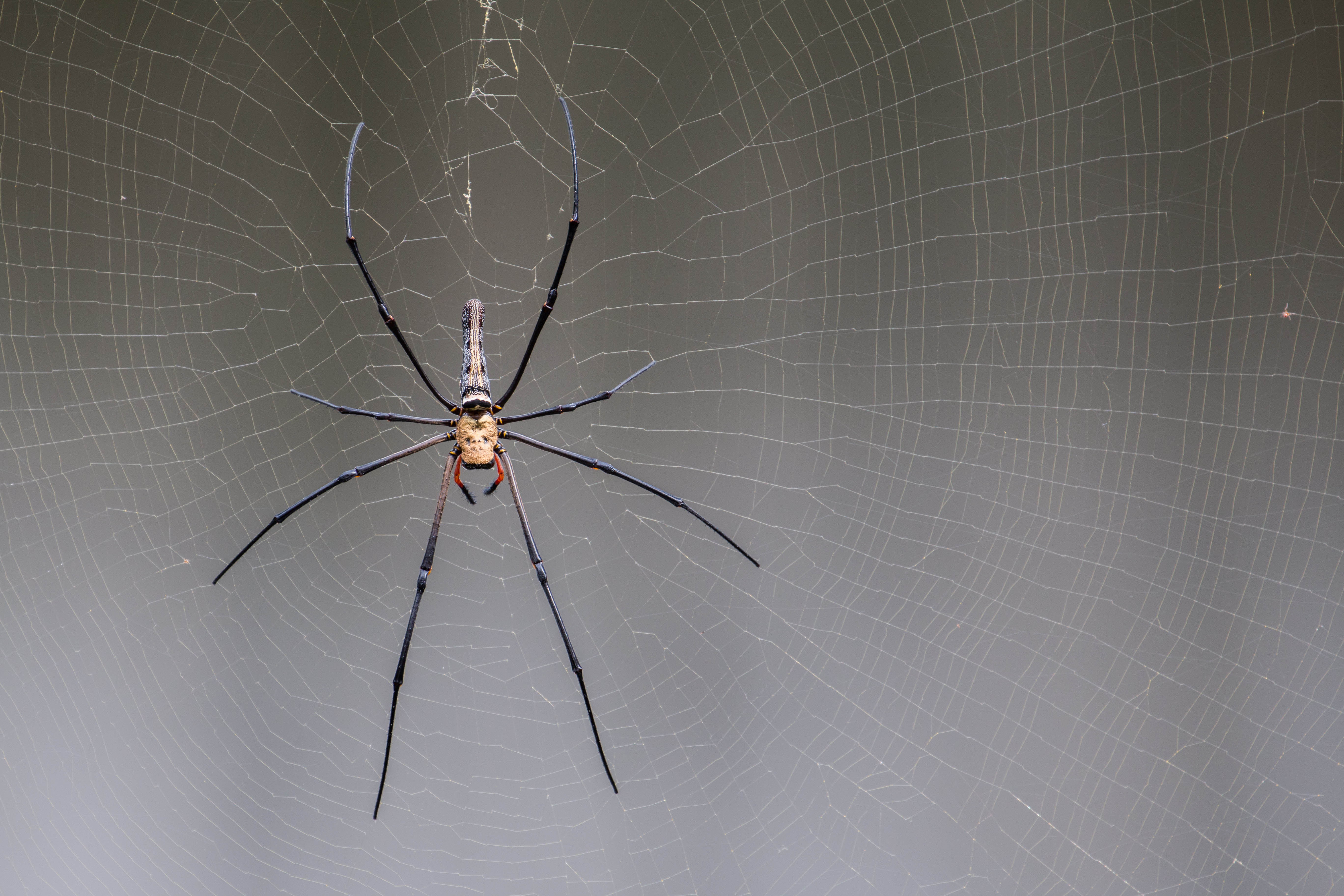 Spider from Nephilidae family