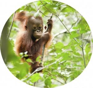 Orangutan (circle)