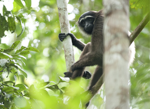 Gibbon project