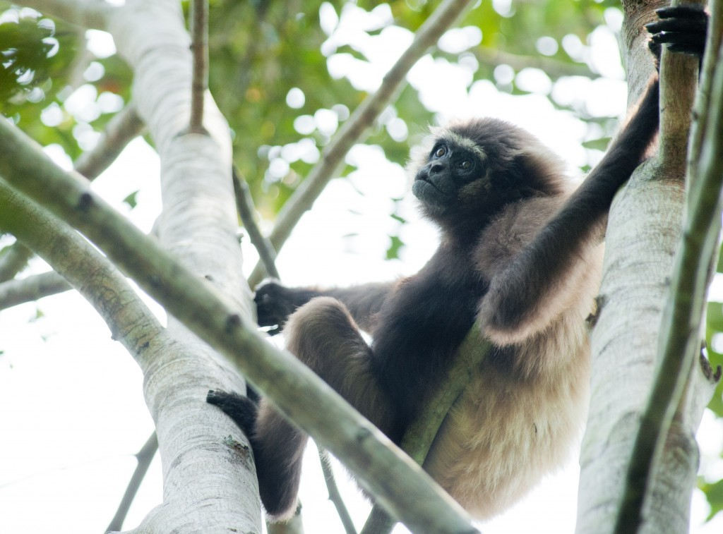 Gibbon (58) - Andrew Walmsley - 2012