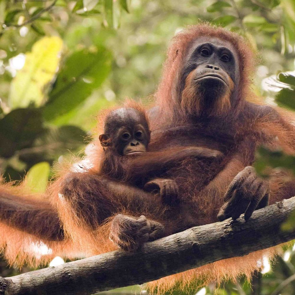Bornean Orangutans habitat forest protection conservation