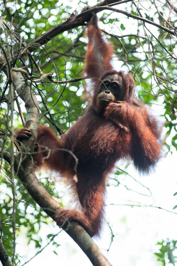 Orangutan-Sabangau-full res-136