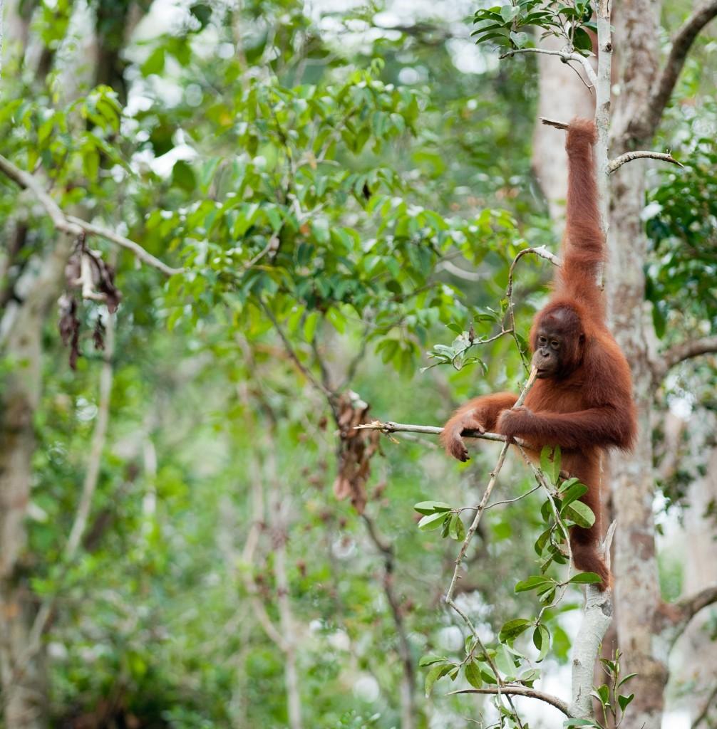 Orangutan-TP-full-007