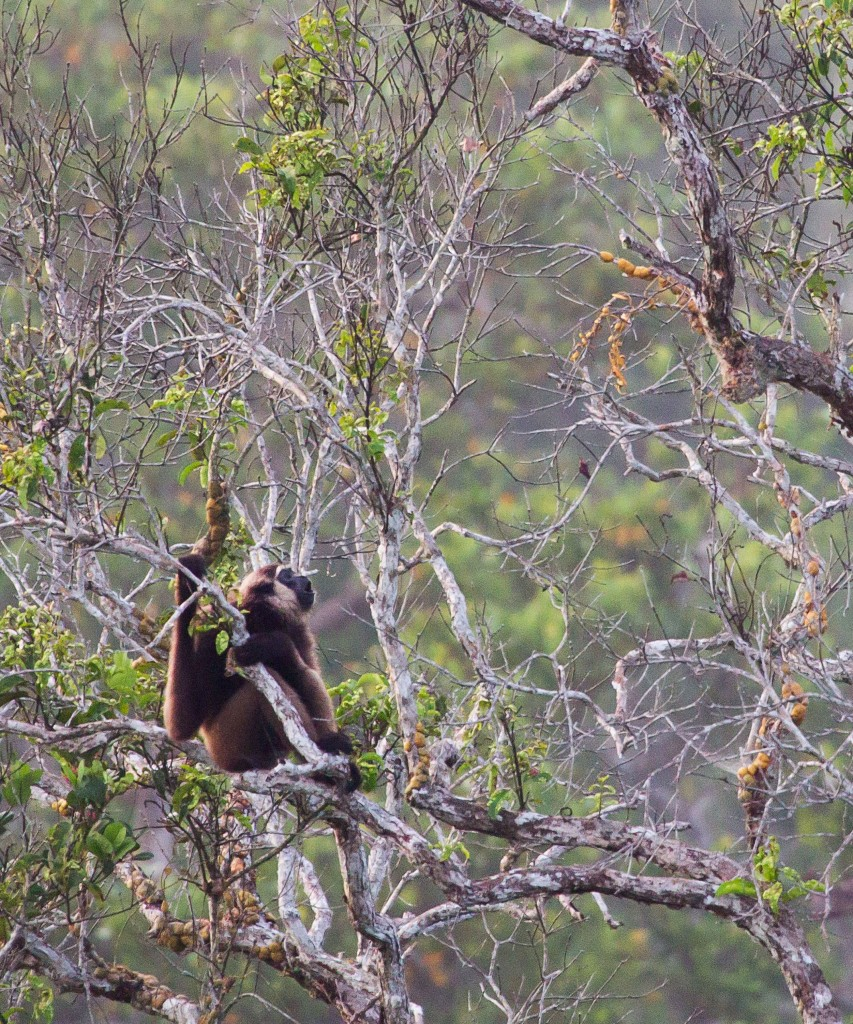 Unknown gibbon calling - Sabangau Forest - Erik - 2012