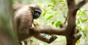 Gibbon (102) - Andrew Walmsley - 2012