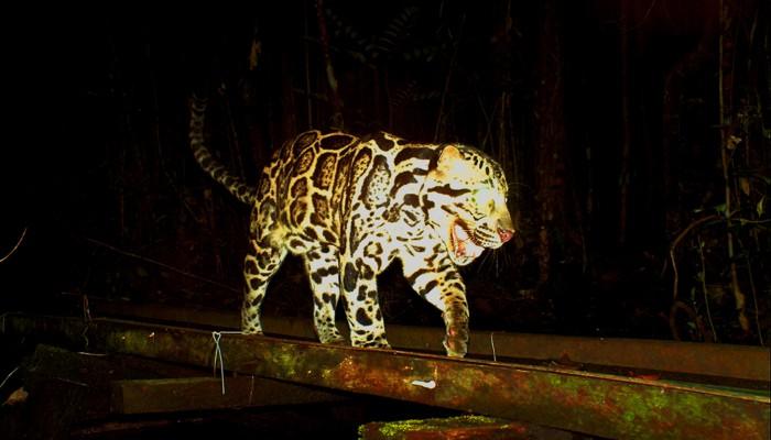 Borneo Wild Cats - Borneo Nature Foundation