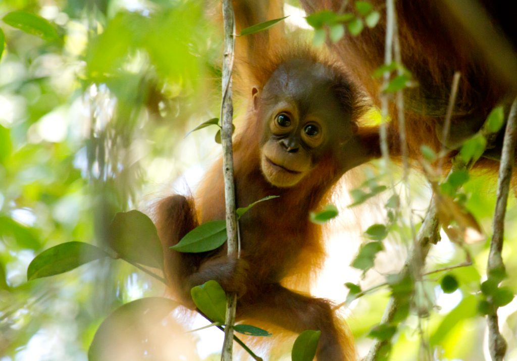 Bornean Orangutan in Sabangau_2015_Photo by Bernat Ripoll Capilla & OuTrop