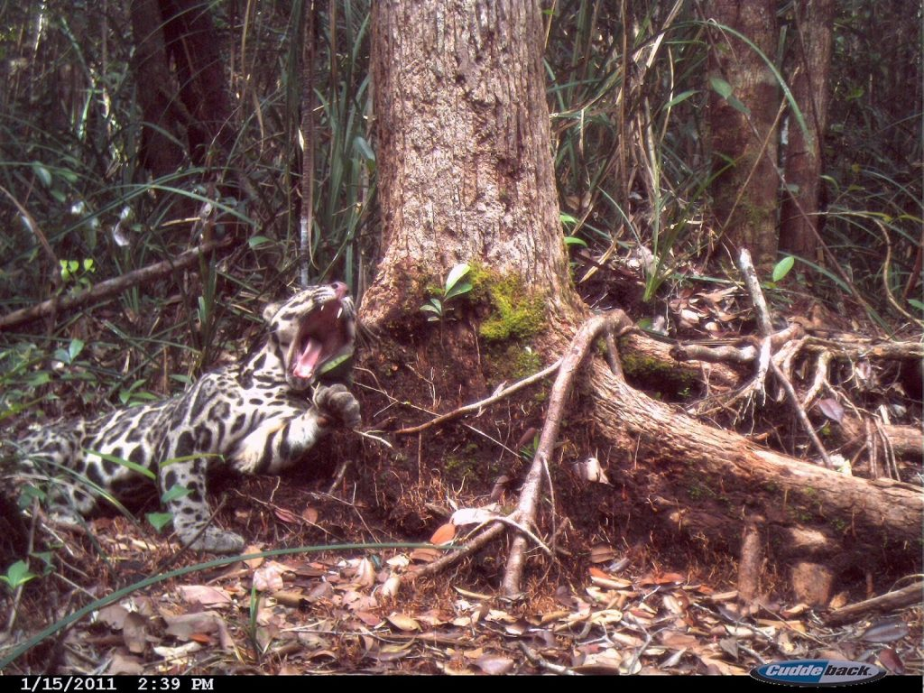 Male clouded leopard - Susan M Cheyne OuTrop