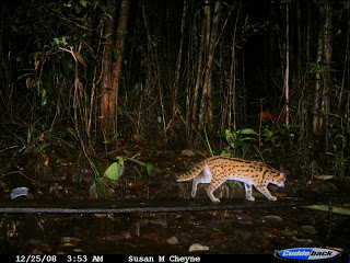 lepard cat KM 1A 07-01-09
