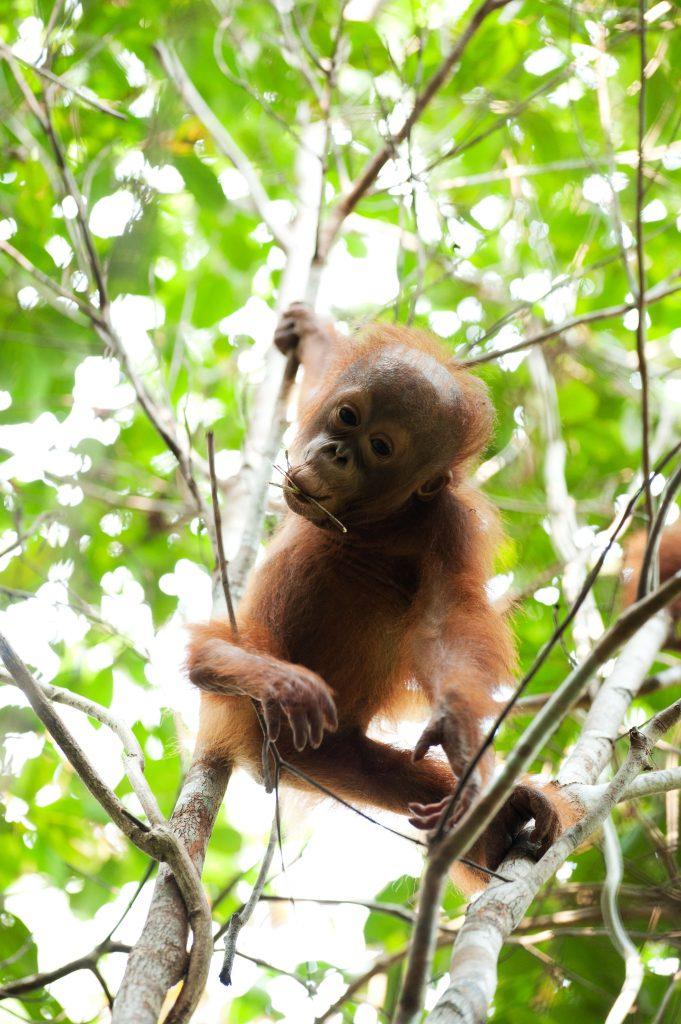 Baby orangutan by Andrew Walmsley