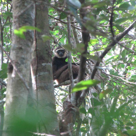 wise gibbon