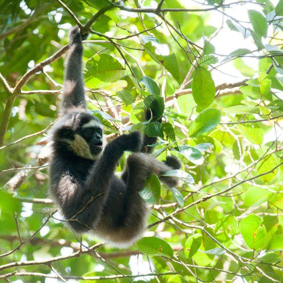 Gibbon, Chilli