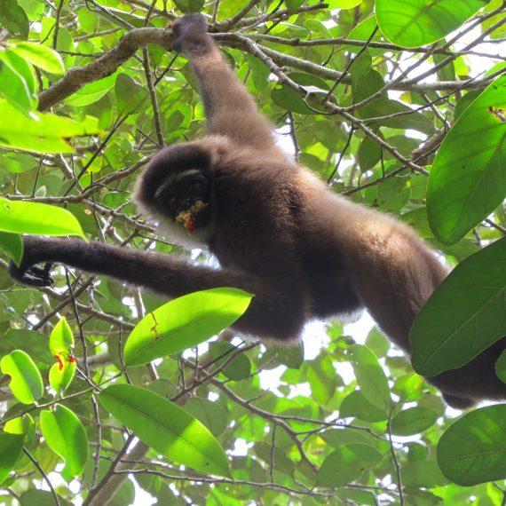 Gibbon, Chilli - Adul