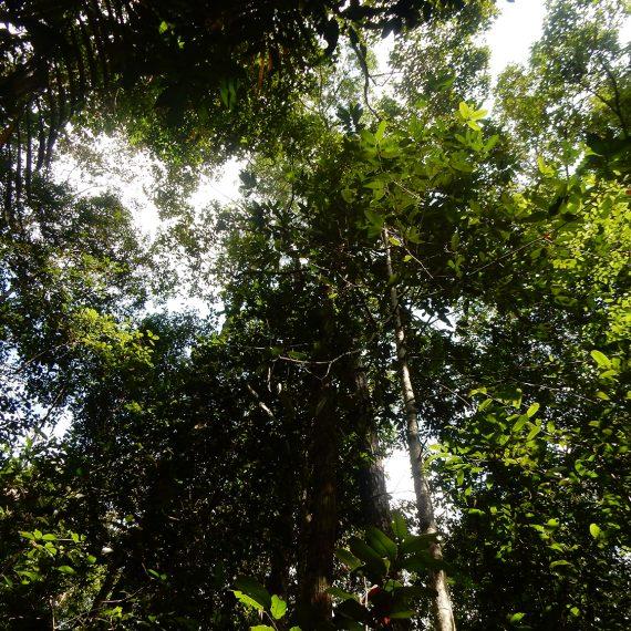 Rungan Forest