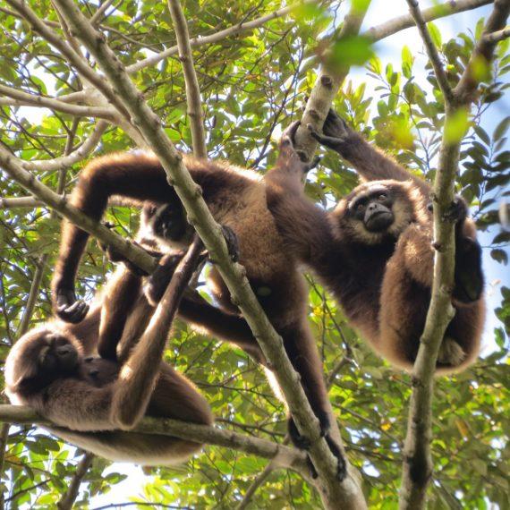 Gibbon group C