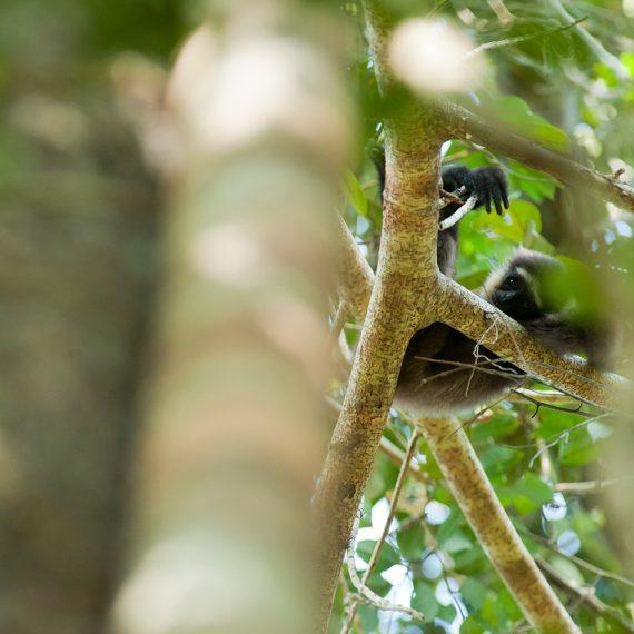 Gibbon - Chili