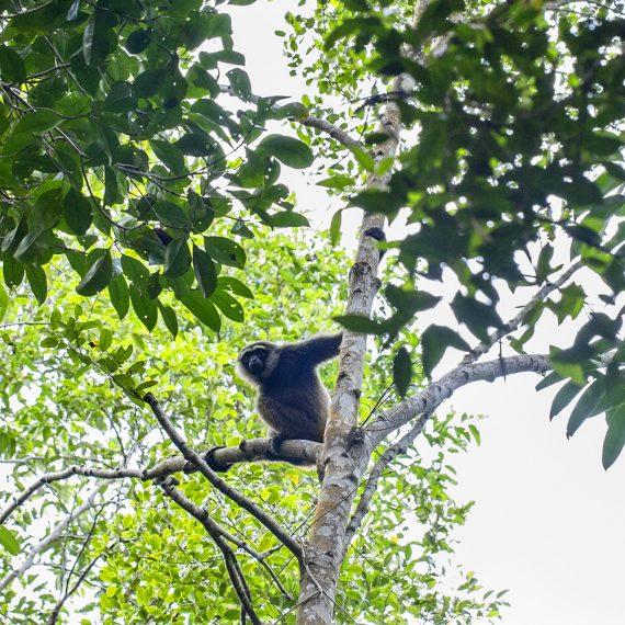 Gibbon Chili