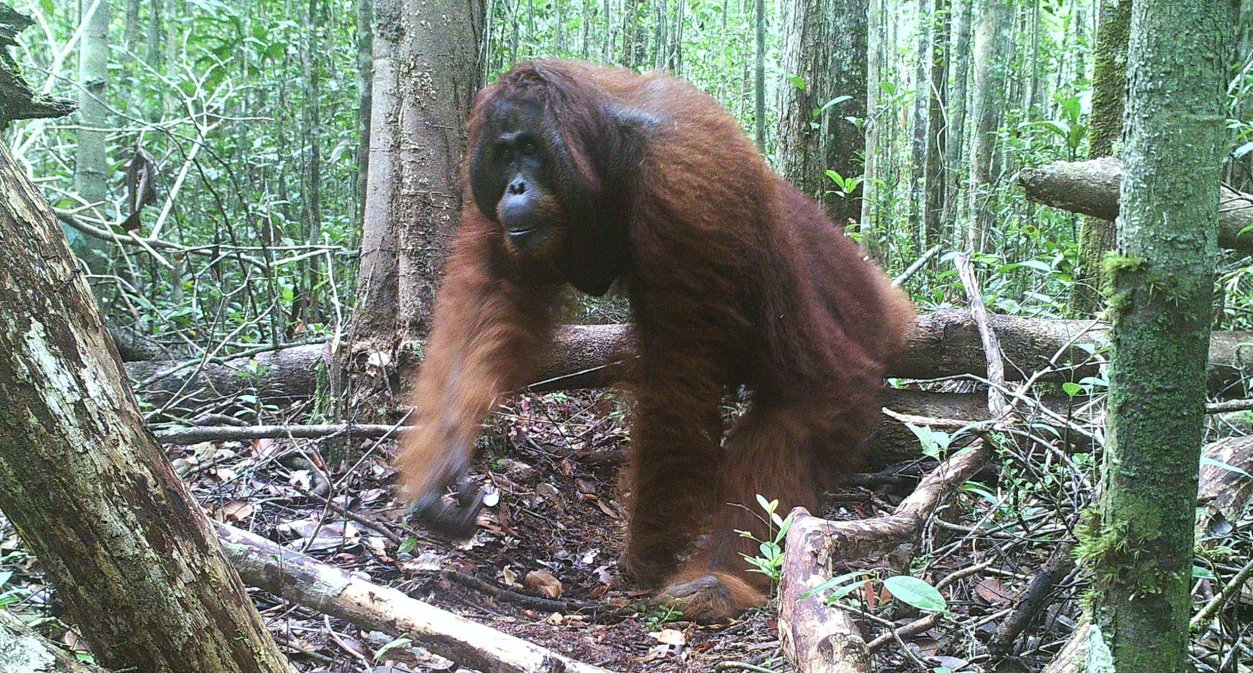 Cam 3 Orangutan