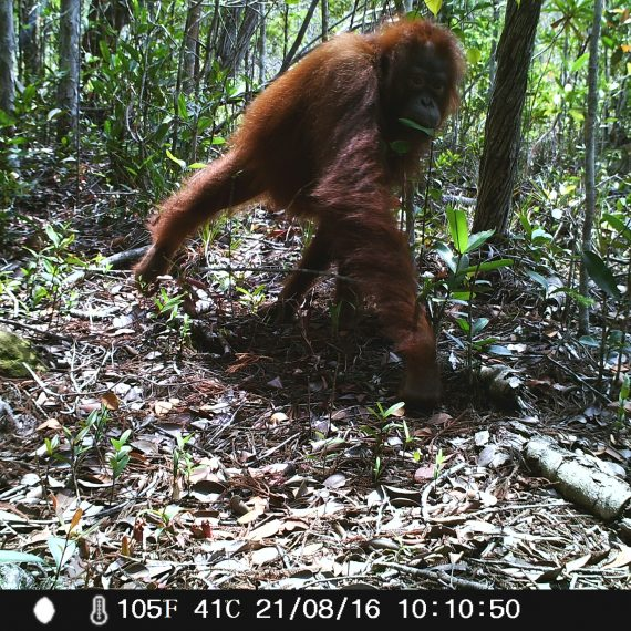 Orangutan_camera trap_borneo