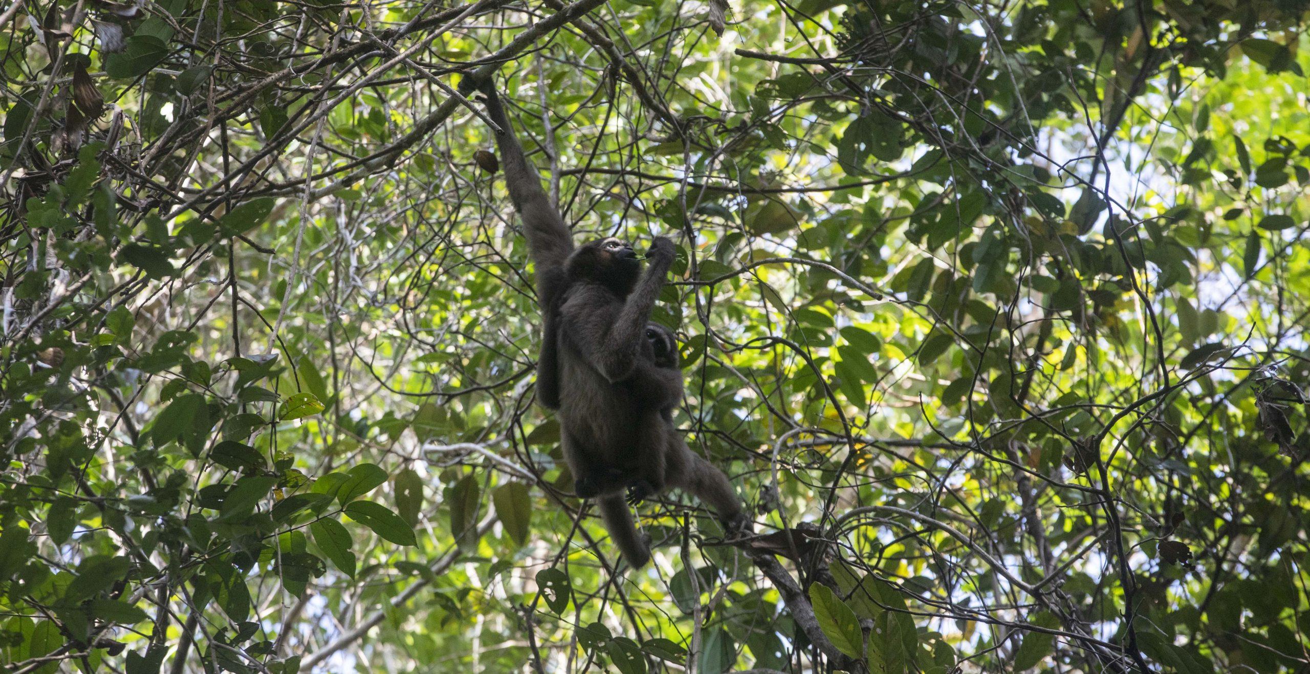 Bornean white-bearded gibbon (Hylobates albibarbis), Sabangau Forest, Central kalimantan