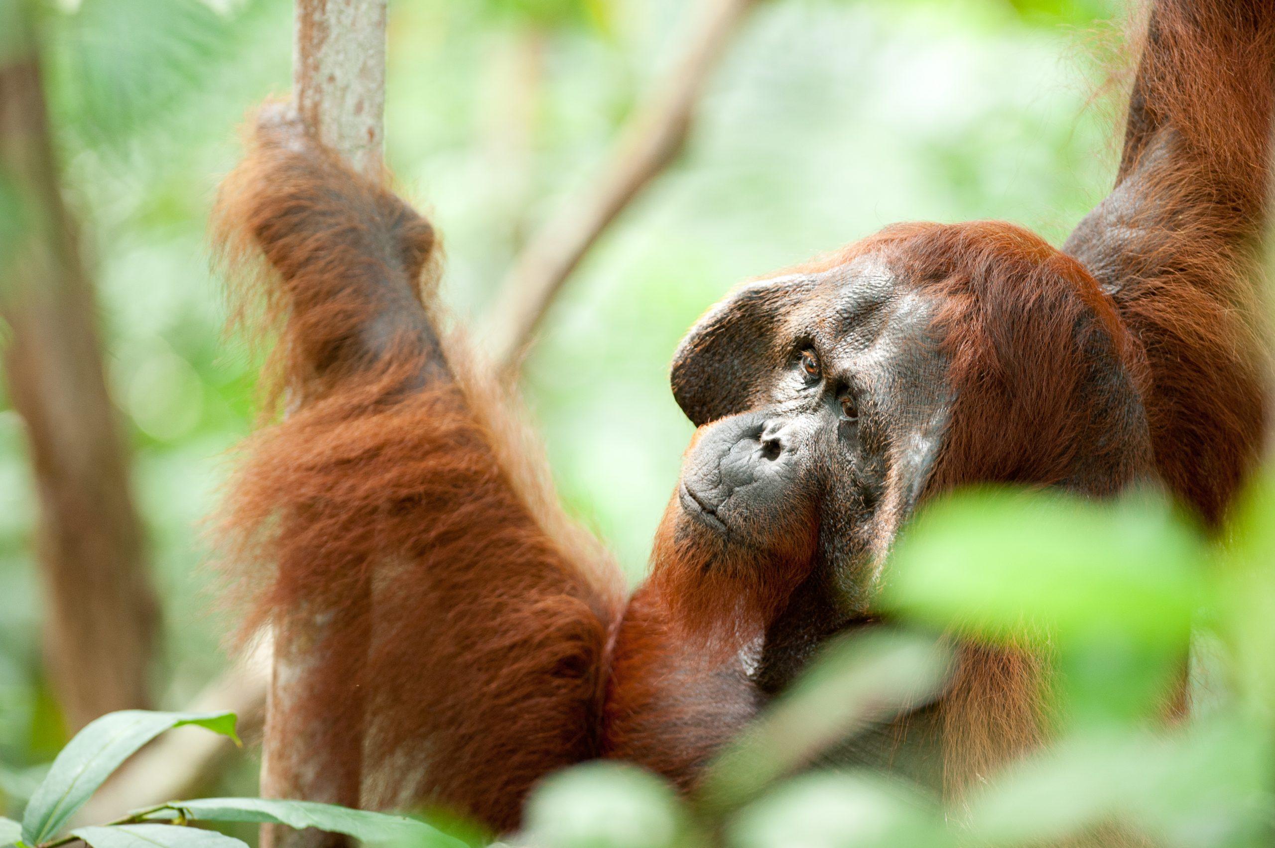 Orangutan-Tanjung Puting-full-017-Andrew Walmsley