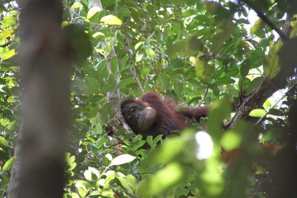 2019_Georgia_orangutan_Sebangau_Abi Gwynn