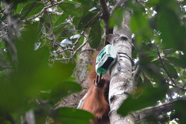 Orangutan, Icarus