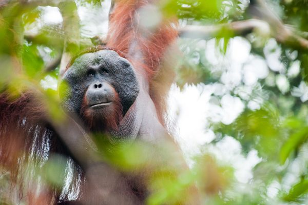 Orangutan - Andrew Walmsley