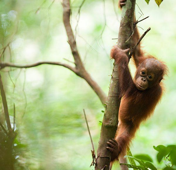 Bornean-orangutan.-Photo-by-Andrew-Walmsey-_-Borneo-Nature-Foundation