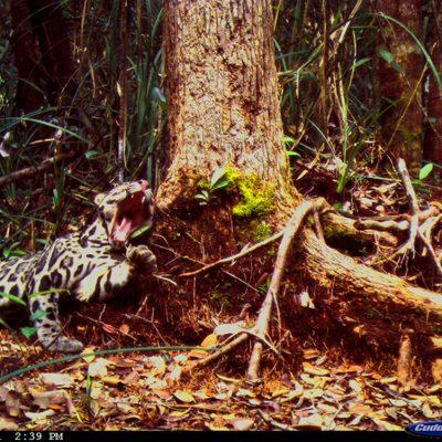 Camera-Trap---Animal-Behaviour_Susan-Cheyne_Clouded-Leopard-2