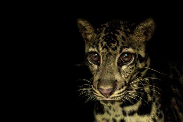 Clouded-leopard-(Neofelis-diardi)---Nyaru-Menteng-2014---Ben-Buckley