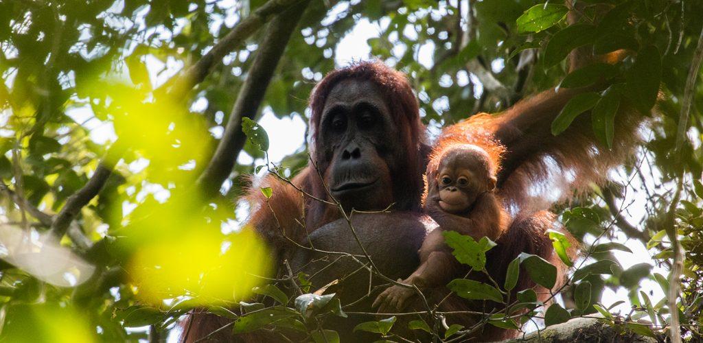Orangutan, Gracia Gara