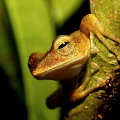 Frog_Sabangau_Bernat-Ripoll_BNF-2018-(10)