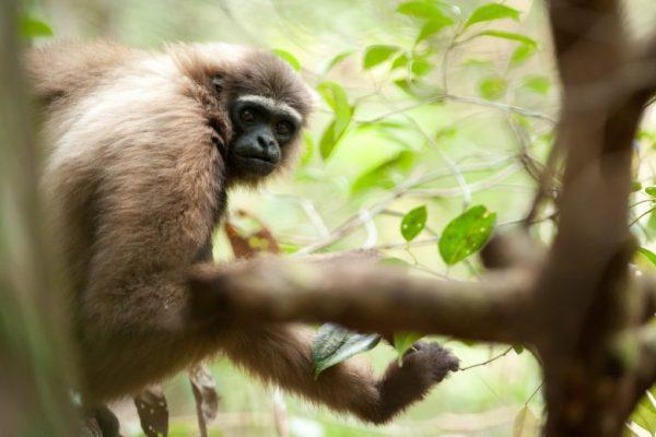 Gibbon_Borneo_rainforest_field course
