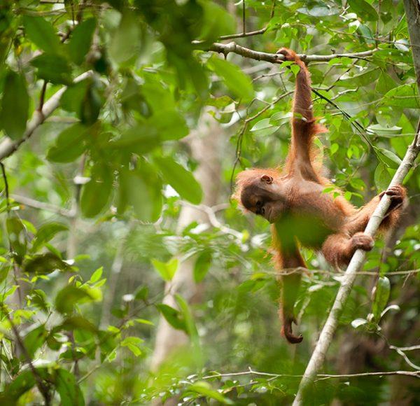 Orangutan-Sabangau-full-res-134-Andrew-Walmsley