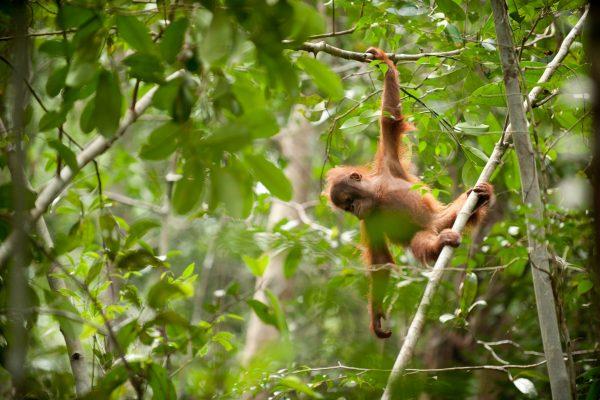Orangutan-Sebangau Forest-BNF-Andrew Walmsley