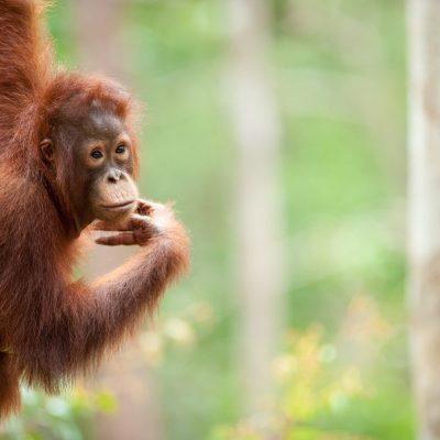 Orangutan-Tanjung Puting-full-009-Andrew Walmsley