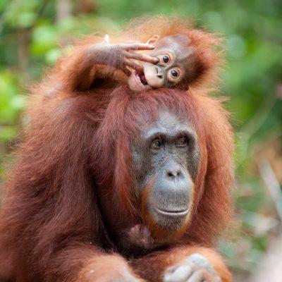 Orangutan-Tanjung Puting-full-014-Andrew Walmsley