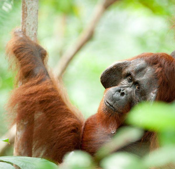 Orangutan-Tanjung Puting-full-016-Andrew Walmsley
