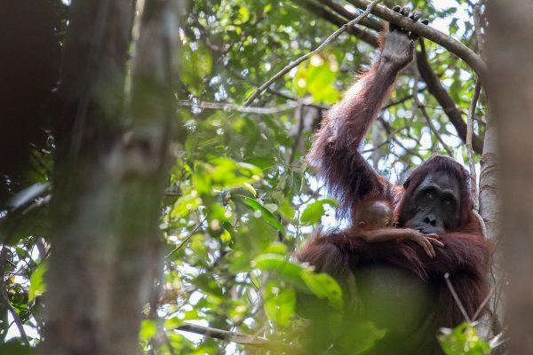 Orangutan, Gracia & Gretel - Pau Brugues Sintes