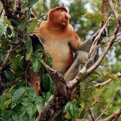 Tanjung Puting; Proboscis monkeys!!
