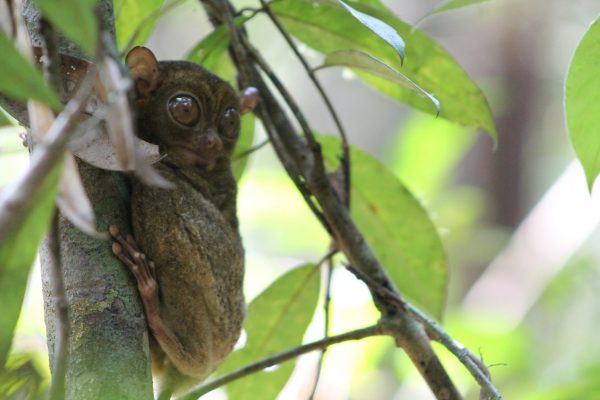 Tarsier - Sabangau Forest - Credit Unknown - 2013